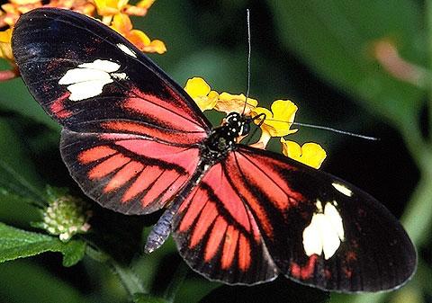 Kırmızı Benekli Kelebek